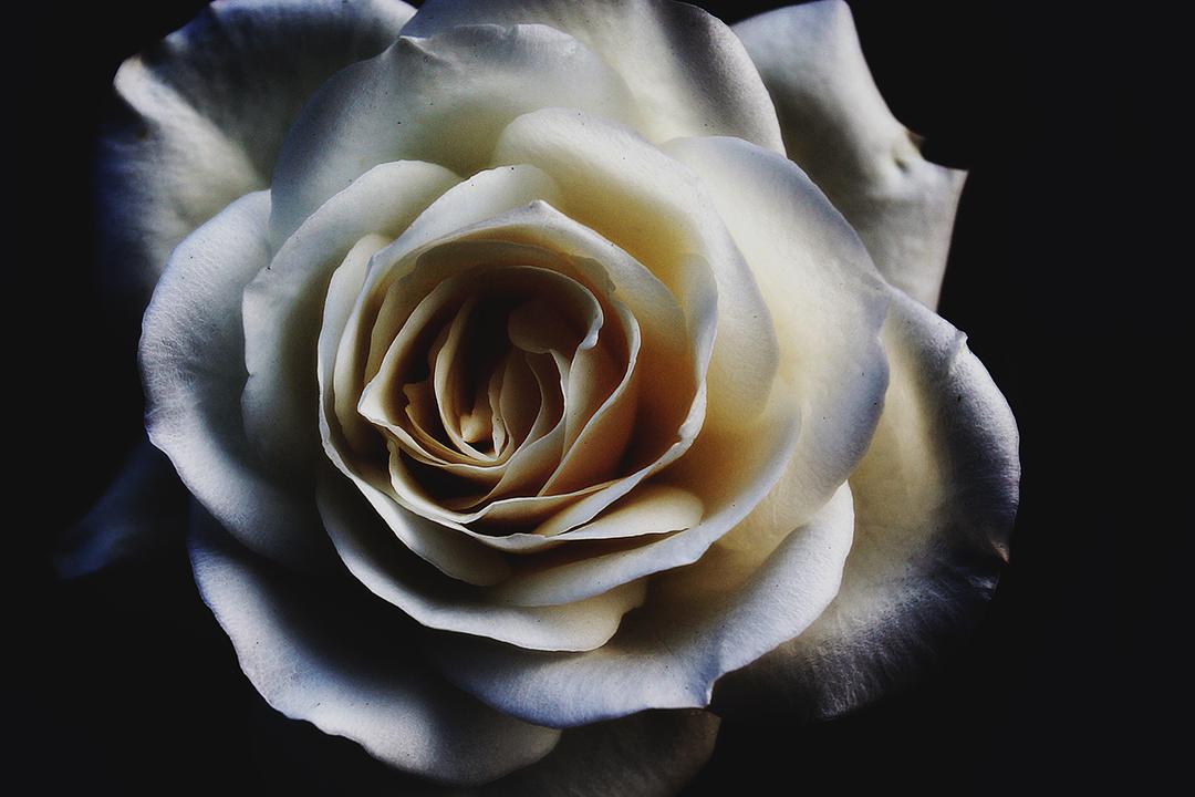 Kärlekens ros